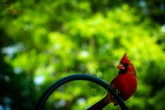 Red Neighbor (Randall ]|[ Photography) Tags: birds color ilce6000 nc northcarolina randall sony us usa unitedstates a6000 alpha amazing beautiful bird black cardinal colors day daylight green image interesting nature nice one outdoor outdoors outside photo photographer photography pic picture pretty redcardinal top wild wildlife