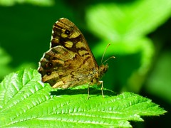 (ste dee) Tags: butterfly speckledwood insect creature closeup bokeh leaves panasonic fz72 outdoors