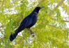 Great-tailed Grackle -- Male (Quiscalus mexicanus); Tucson, AZ, Columbus Park [Lou Feltz] (deserttoad) Tags: bird wildbird grackle wildlife nature arizona fauna water park behavior