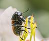 Festín (javiblue25) Tags: macro macrofotografía insectos bichos naturaleza flores zaragoza aragón españa es