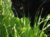 A Uniform Hieroglyphic (Céanndhubahn) Tags: greenblack waltwhitman leavesofgrass shade cat'seyes greeneyes sunlight grass blackcat