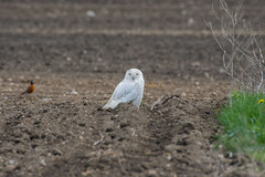 Snowy owl being photobombed by a robin and a dandelion. (Mel Diotte) Tags: snowy owl raptor robin spring winter dandelion mel diotte explore
