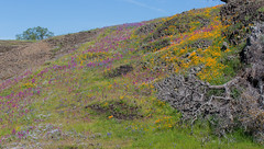 815A1807 Hill sides of color (hobbitcamera) Tags: northtablemountainecologicalreserve tabletopmountain northtablemountainecologicalreservetabletopmountain oroville orovillecalifornia wildflowers flowers hiking colorfulflowers buttecounty tabletopmtn