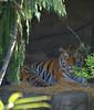 Bengal Tiger (Scott 97006) Tags: tigeer animal zoo bengal
