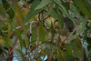 Noisy Minor feed time #4 (Beckett_1066) Tags: birds gumtree minor grub gumnut