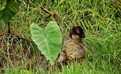 Common Brown Lemur (Eulemur fulvus) (Susan Roehl) Tags: madagascar2017 islandofmadagascar offtheeastcoastofafrica andasibemantadianationalpark commonbrownlemur eulemerfulvus endangeredlist lemuridaefamily animal mammal occupiesavarietyofforesttypes lowlandrainforests montanerainforests moistevergreenforests drydeciduousforests eatsfruit youngleaves flowers invertebrates groupsof5to12 nodiscernible dominancehierarchies activeduringday sueroehl photographictours naturalexposures panasonic lumixdmcgh4 100400mmlens handheld cropped coth5 ngc npc