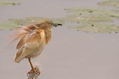 Squacco Heron: Ardeola ralloides (renzodionigi) Tags: rallenreiher garcillacangrejera crabierchevelu sgarzaciuffetto pelecaniformes ardeidae