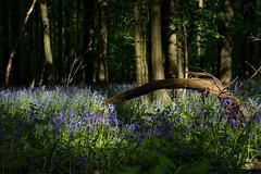 Evening sun on hyacinths. (Azariel01) Tags: 2018 belgique belgium halle hallerbos bois woods jacinthe hyacinth spring printemps fleurs flowers bloom floraison bluebells bluecarpet tapisbleu soleil sun rayons rays trees arbres shadows ombres