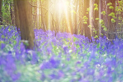 A Sea of Blue... (KissThePixel) Tags: blue bluebell bluebells blueflowers bluebellwoods woodland forrest nature naturephotography wildflower wildlifephotography britain england nikon nikond750 light sunlight trees tree green spring april beautiful beauty beautifulday flower flowers landscape
