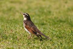 Dusky thrush (hakuunsai) Tags: duskythrush bird birds japan sony a7r3 a7riii sigma150600