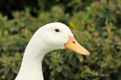 Hello (Barry Miller _ Bazz) Tags: bird duck canon 5dsr widnes halton victoria park cheshire wildlife wildfowl nature l lens