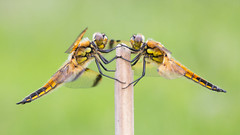 Four-spotted Chaser - Explored 02/05/2018 (Max Thompson Photography) Tags: nature wildlife canon south west england uk macro bird landscape