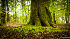 In the woods (jasonrhprice) Tags: plants freshair nature outdoors outside woods forest leaves roots moss tree