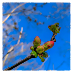 Flowering Quince (Timothy Valentine) Tags: 2018 0418 sky home springtime bud eastbridgewater massachusetts unitedstates us