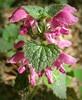 Глуха кропива плямиста, крапчаста (Lamium maculatum) (Gansucha) Tags: lamiaceae lamium