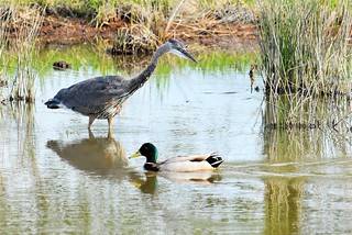 Great Blue Heron and a Mallard passing through...
