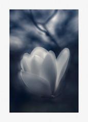 magnolia lantern (Inna Karpova) Tags: magnolia tree spring doubleexposure photography incamera
