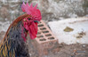 Perfil de control del gallinero (davidgascondesign) Tags: santisteban huerto primavera gallina gallo cacareo despertador huerta