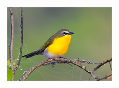 Yellow-breastedChat (George McHenry Photography) Tags: birds chat yellowbreastedchat southcarolinabirds southcarolinan