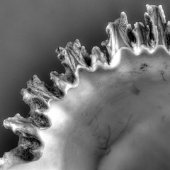 The Jagged Edge (Joseph Pearson Images) Tags: macromonday jagged macro blackandwhite mono bw shell square