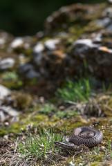 Vipera berus (Tomas_K) Tags: vipera berus european common adder zmije obecná obecna vretenica snake venomous viper