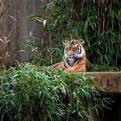 Amur Tiger (jn3va) Tags: smithsonian usa bigcats washington dc tiger zoo