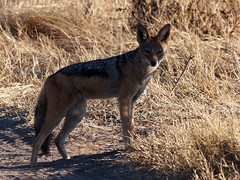 20170720-081256-00241B- (hugoholunder) Tags: botswana okowangodelta südafrika schakal strauch steppe natur