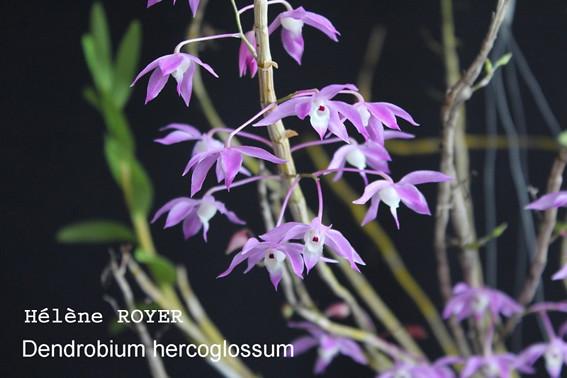 dendrobiu_ hercoglossum-small