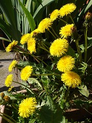 Dandelions (Simply Sharon !) Tags: dandelions flowers wildflowers plants yellow nature inthegarden