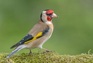 DSC3953  Goldfinch..
