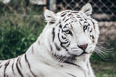 Tigre de bengala (pablo.durana) Tags: nikon nikon5300 tigre tiger bengala portrait retrato