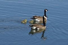 Family swim (gsmper) Tags: birds wildlife water sunlight lake california park sony sigma art mc11 nature reflections