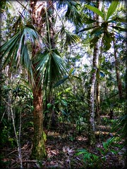 The Florida Hammock Trail (Chris C. Crowley) Tags: thefloridahammocktrail sugarmillgardens portorangeflorida woods forest trees palmtrees palmetto jungle nature outdoors wildflorida scenic landscape