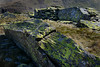 Boring lichen (PentlandPirate of the North) Tags: lichen slate rhosydd cwmorthin snowdonia northwales rhizocarpon geographicum