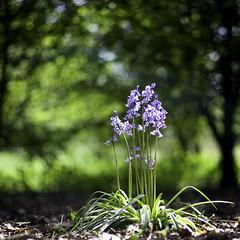 Bluebells (Chris Johnston Photography) Tags: bluebells bokeh pentaxart pentax k1 pentaxk177mm 77mmlimited green purple flowers spring woodlands