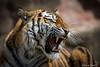 Sibirischer Tiger / Sibirian Tiger (Doris & Michael S.) Tags: tiergarten tiergartennürnberg tiger sonyilcaalpha77ii tiere tamronsp150600mm animals sonyilca77m2 tigre zoo ζωολογικόσκήποσ τίγρησ зоопарк тигр 动物园 虎