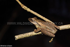 41282 Common Tree frog (Polypedates leucomystax) on bushes at night, Kuala Selangor Nature Park, Selangor, Malaysia. IUCN=Least Concern. (K Fletcher & D Baylis) Tags: wildlife animal fauna amphibian frog treefrog commontreefrog fourlinedtreefrog whitelippedtreefrog rhacophoridae polypedatesleucomystax leastconcern night nocturnal kualaselangornaturepark selangor malaysia asia april2018