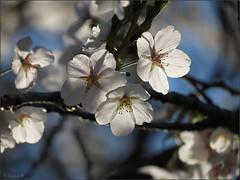 Glowing blossoms (Genie W.) Tags: highpark cherryblossom sakura toronto spring canonpowershotsx40hs