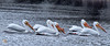 American White Pelicans On The Cedar River (Vidterry) Tags: pelican americanwhitepelican cedarriver nikond300 tamron200500mm 450mm 11000thf10 ev10
