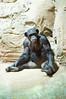 Zoo am Meer Bremerhaven 01 (akumaohz) Tags: zoo am meer bremerhaven deutschland germany d3200 nikon tier tiere animal animals natur nature tierpark tiergarten tiefenschärfe schärfentiefe bremen säugetier affe monkey gorilla