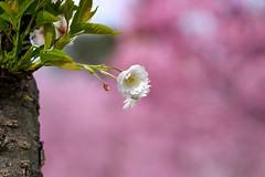 Alone Blooming (tez-guitar) Tags: cherryblossom cherry blossom bloom flower spring castle japan tohoku pentax pentaxart macro sigma hirosaki