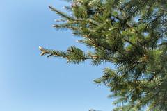 budding (annapolis_rose) Tags: evergreen buds budding spring bluesky sky