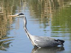 Grey Heron (blue33hibiscus) Tags: bird greyheron water wwt slimbridge gloucestershire