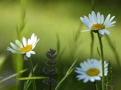 le tre amiche (fotomie2009) Tags: flower fiore flora white margherite margherita daisy daisies wildflower wildflowers wild spontaneous spontaneo nature