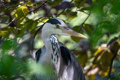 Through the Green (- Jan van Dijk -) Tags: greyheron heron reiger nature natuur wildlife oiseau vogel green nederland northholland uccelli blauwereiger ardeacinerea ardeidae
