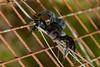 LADYBIRD SPIDER (Sonja Ooms) Tags: animal eresidae eresus eresuskollari grijs insect kollari ladybird ladybirdspider lebanon macro nature natuur sabbah spider spin zwart