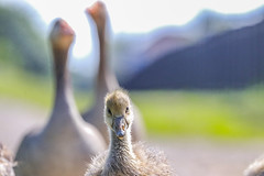 Mum, Dad I'd like to introduce you to my photographer (Paul Wrights Reserved) Tags: goose greylag gosling young baby babies bokeh extremebokeh closeup close chick younganimal animal animalantics wildlife wildanimal wildlifephotography bird birding birds birdwatching birdphotography