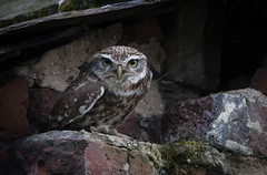 Little Owl at last! (Steve D'Cruze) Tags: owl little tiny bird small burrowing nature wildlife perched ball fluff
