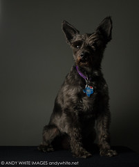 fletcher20180515-1 (andywhiteimages) Tags: andy white andywhitenet andywhiteimages fletcher miniature schnauzer off camera flash umbrella portrait pets dogs
