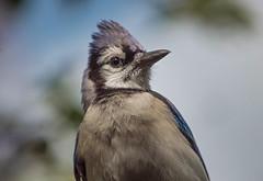 A Handsome Bird (ACEZandEIGHTZ) Tags: cyanocitta crostata nature backyard birdwatcher d3200 nikon passerine portrait macro closeup bokeh sky ngc coth npc coth5 sunrays5